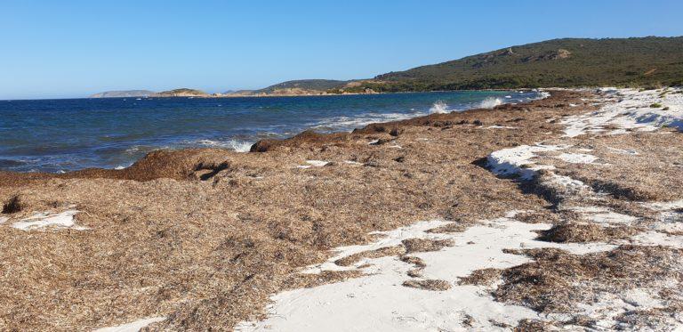 hromady mořských řas na Rossiter Bay? Esperance