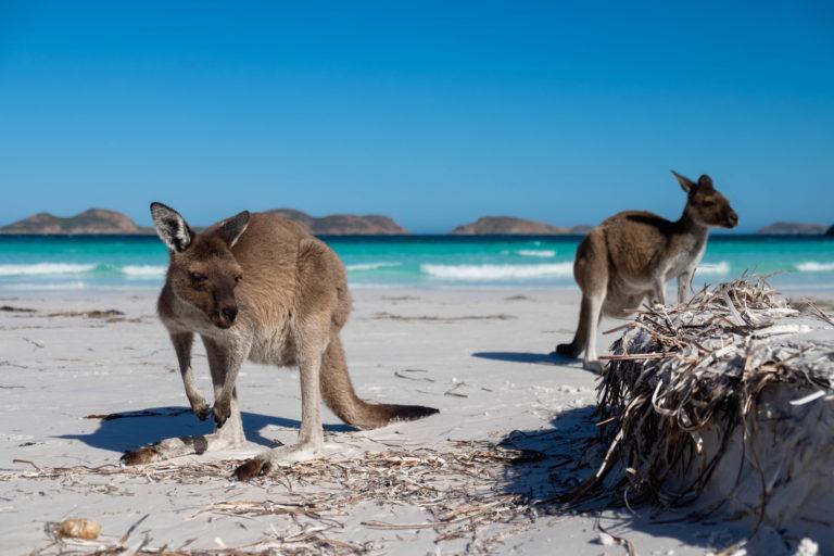 Klokani na pláži Lucky Bay