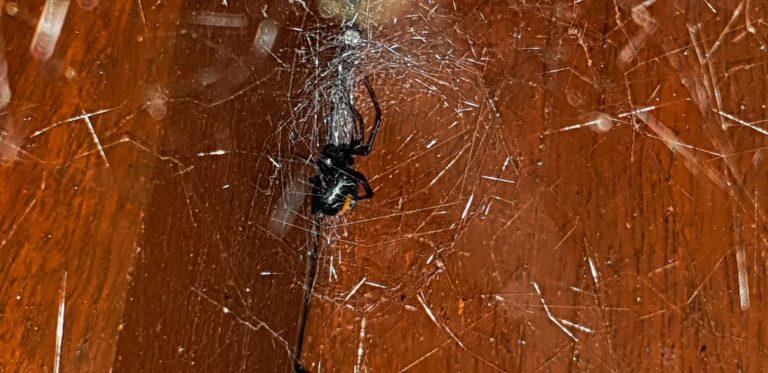 Pavouk Redback spider