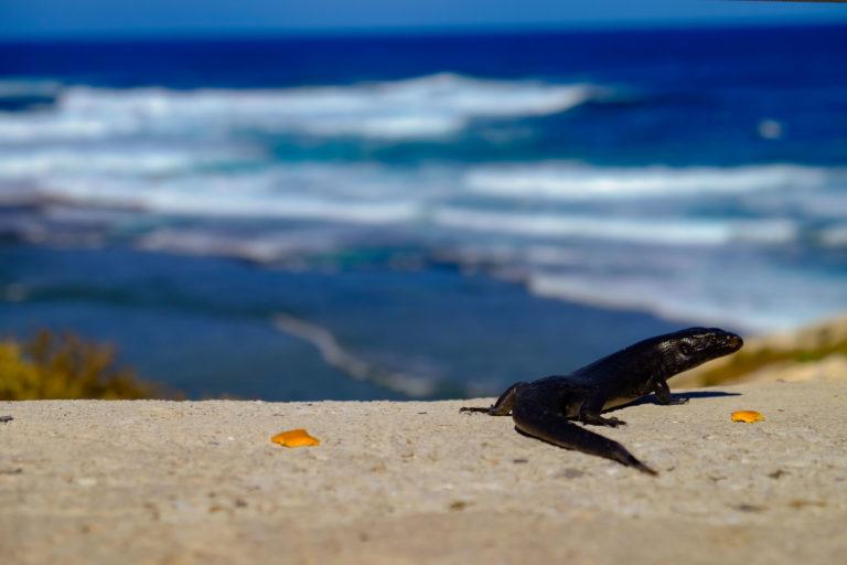 ještěrka Kings Skink, ostrov Rottnest Island