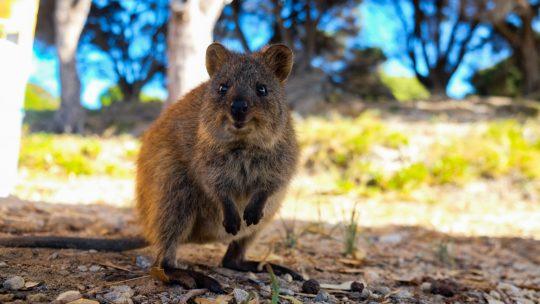 Austrálie: Naostrov Rottnest plachetnicí (díl 2.)